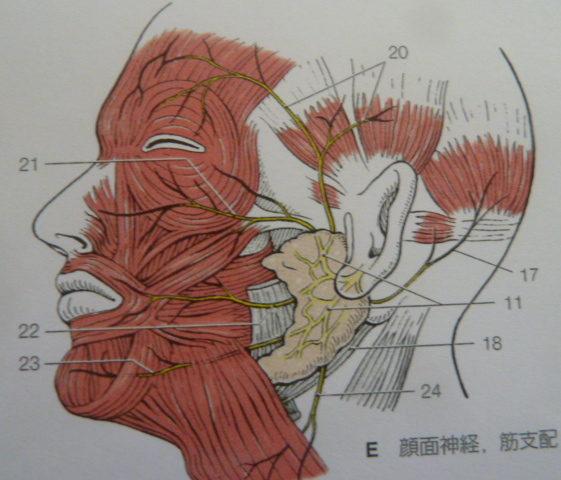 分冊解剖学アトラスより